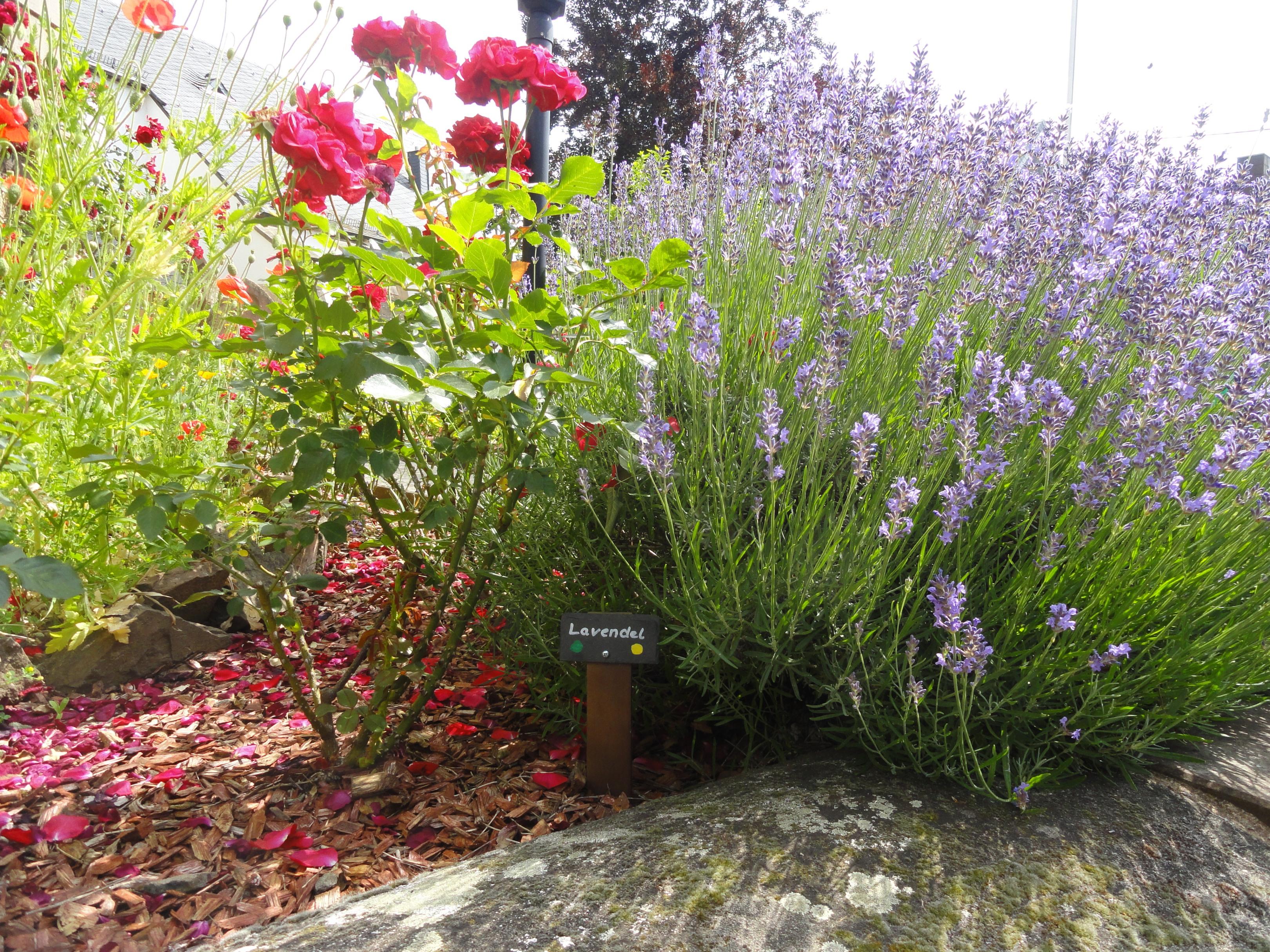 Lavendel Biblischer Garten Niederkichen © Cora Berger