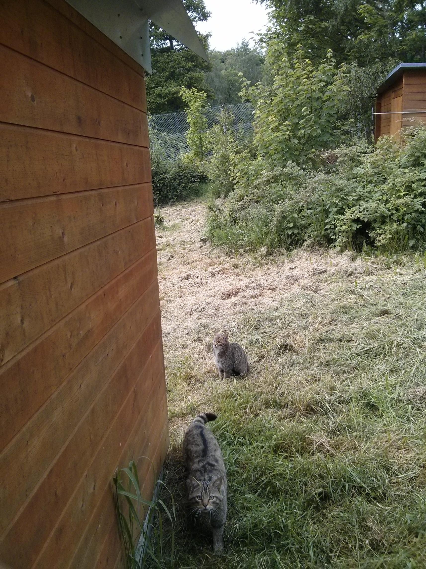 Wildkatze im Wildfreigehege Wildenburg, Foto: Cora Berger