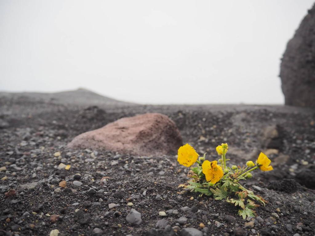 Blumen im schwarzen Sand am Solheimasandur © Cora Berger