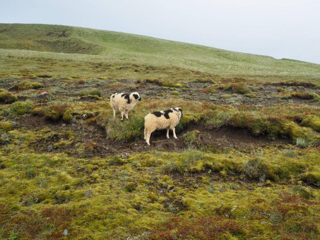 Schafe am Kap Dyrhólaey © Cora Berger
