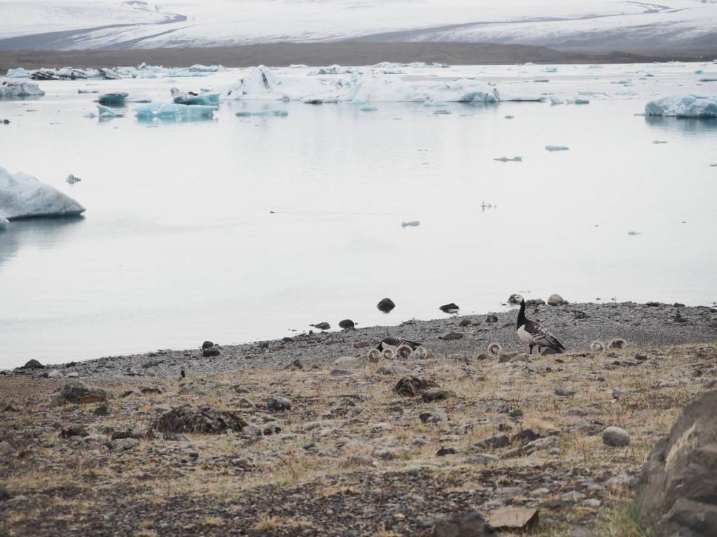 Gänse an der Gletscherlagune © Cora Berger