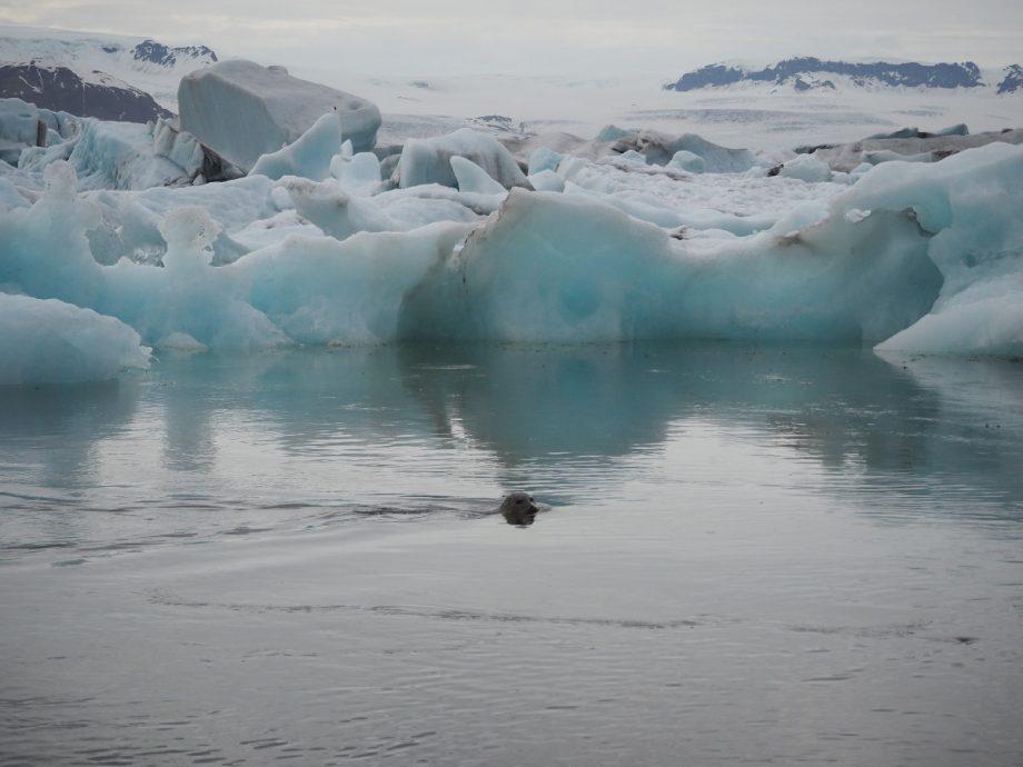 Seehund im Gletschersee Jökulsárlón