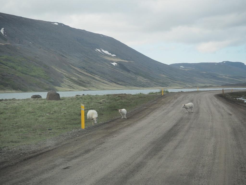 Schafe auf der Ringstraße ohne Asphalt © Cora Berger