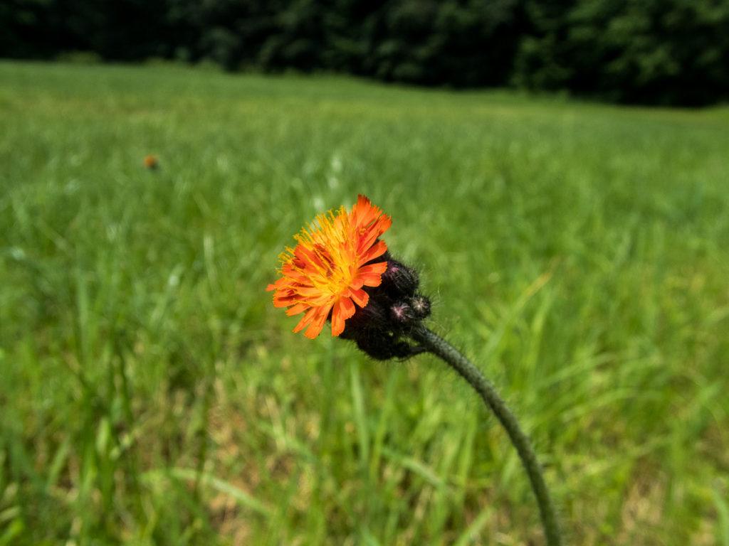 Blume am Wegesrand © Cora Berger
