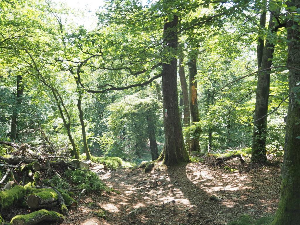 Wald Keltischer Ringwall Otzenhausen im Nationalpark © Cora Berger