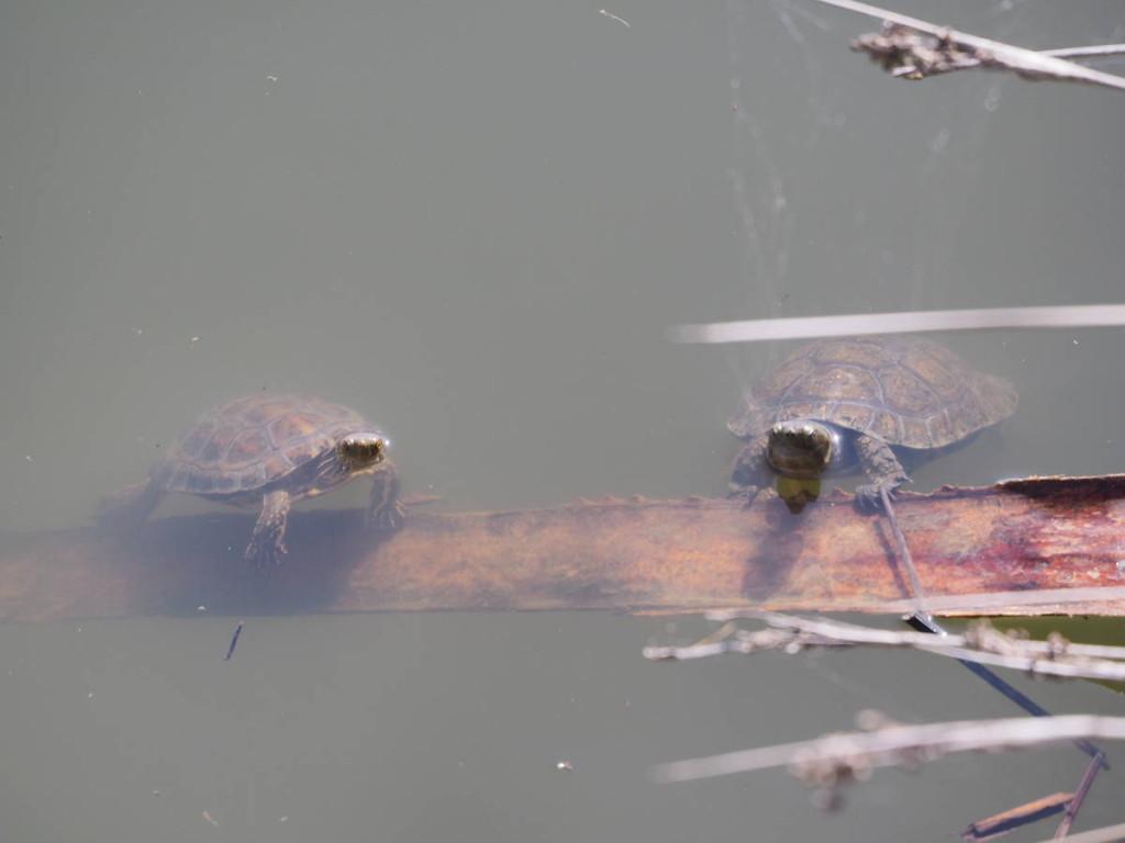 Sumpfschildkröten am Strand von Bolonia © Cora Berger