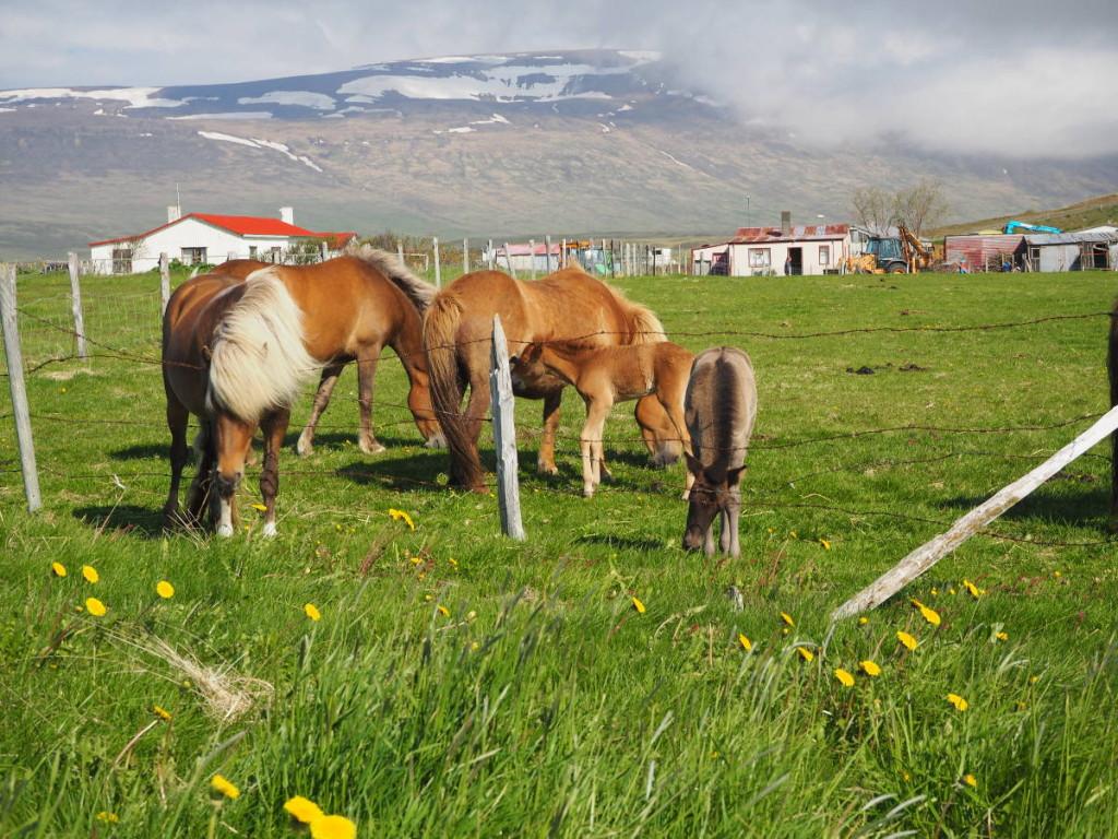 Islandpferde an der Ringstraße © Cora Berger | greenshapedheart.de