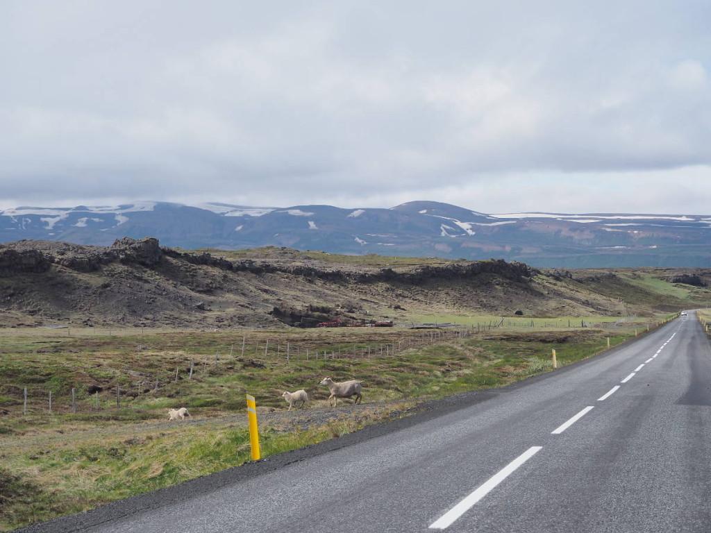 Schafe auf der Ringstraße Nordisland © Cora Berger