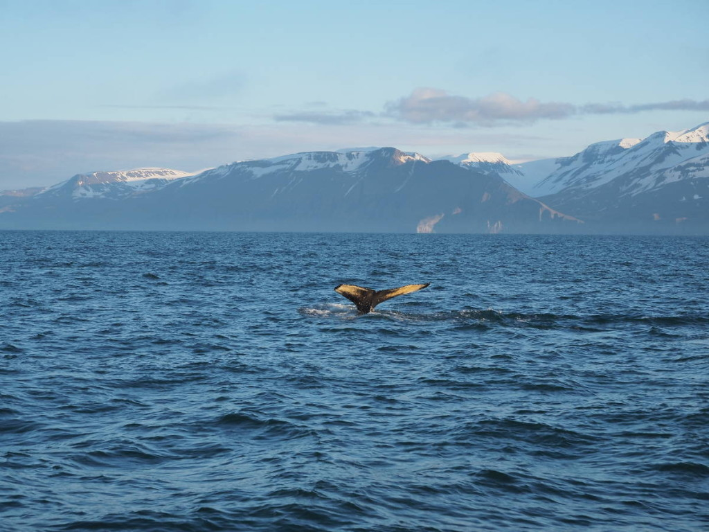 Whale Watchinh Husavik Diving Whale © Markus Backes