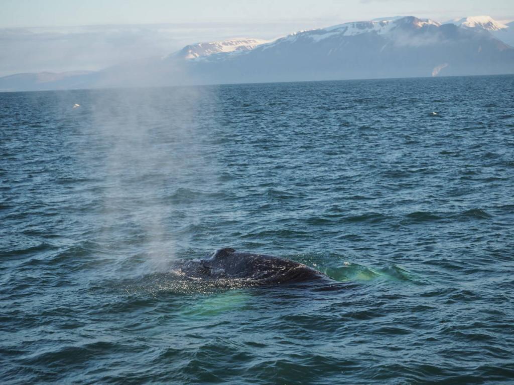 Whale Watching Husavik © Markus Backes