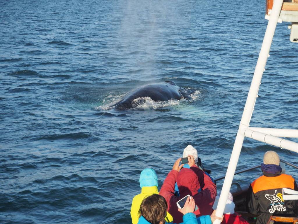 Whale Watching vor Husavik mit Gentle Giants © Markus Backes