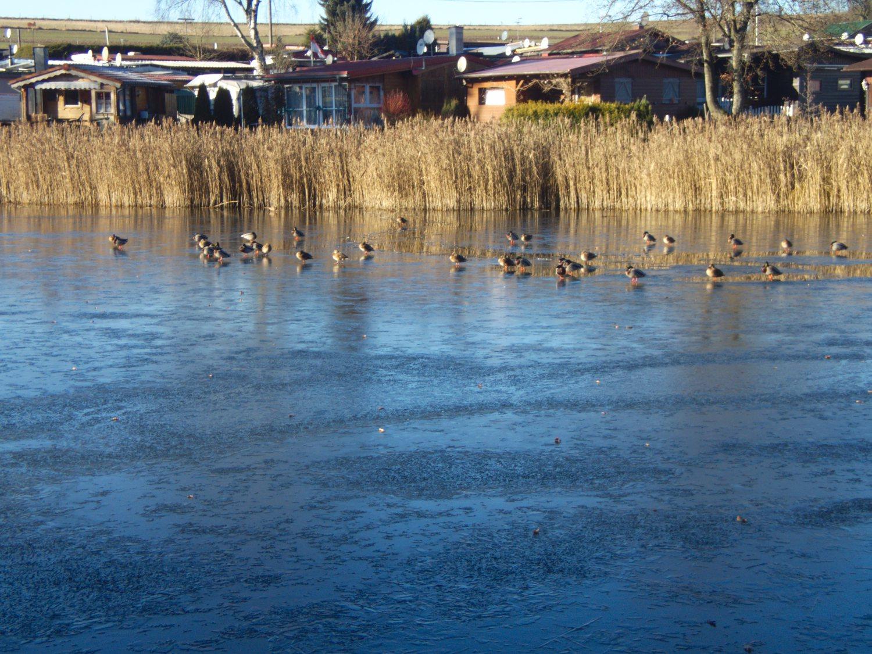 Enten auf dem gefrorenen Weiher © Cora Berger | greenshapedheart.de