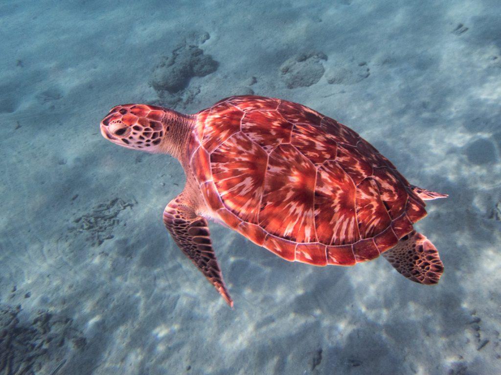 Schildkröte beim Schnorcheln am Playa Grandi auf Curaçao © Markus Backes