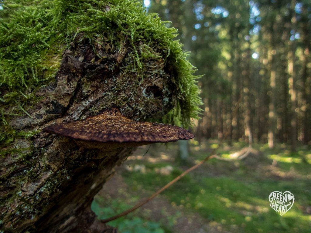 Baumpilz an der Traumschleife Wind, Wasser & Wacken © Cora Berger | greenshapedheart.de